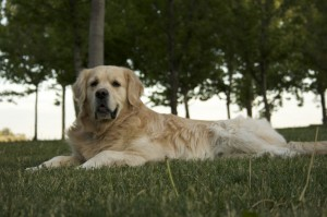Golden-Retriever-Dog